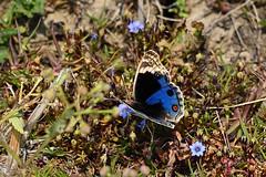 Blue Pansy_Junonia orithya wallacei (Oleg Nomad) Tags: непал трек дамфус сарангкот горы закат nepal damphus sarangkot trail asia travel