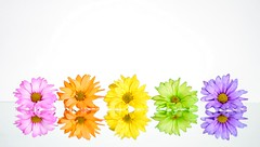 Rainbow Flowers (Karen_Chappell) Tags: pastel rainbow spectrum flower flowers floral nature white pink orange yellow green purple multicoloured colourful stilllife reflection reflections daisy daisies gerbera five 5 colours colour color