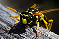 wasp-15_5728944281_o (irrational.photography) Tags: rational irrational photography photo irrationalphotography rationalphotography irrationalphoto