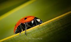 Lady Bug (franlaserna) Tags: sigma105 sigma nikon macro macrophotography nature bug lady