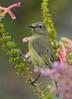 Sunbird Female   South Africa (dr brewbottle) Tags: sunbird southafrica