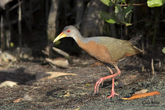 Little Wood-rail (Aramides mangle)