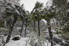 Palm Trees and Snow (wilbias) Tags: fan palm trees stanley park windmill snow winter cold vancouver bc british columbia canada snowfall snowing
