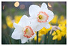 Narcissus (leo.roos) Tags: narcis narcissus daffodil spring lente a7rii meyertrioplan5028 cmount meyertrioplanf28f5cm aprilfoolishness2018 dyxum challenge darosa leoroos