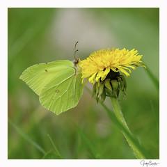 Gonepteryx rhamni Citroenvlinder (cornelis1980) Tags: dandelion brimstone butterfly paardenbloem citroenvlinder bloem geel groen vlinder yellow green grass macro close up photography nature insect
