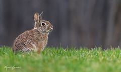 Bunny Rabbit (photosbymk) Tags: bunny rabbit