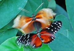 Heliconius hecale butterflies flirting with each other 008 (Tangled Bank) Tags: in butterfly house florida museum natural history university camous gainesville insect lepidoptera heliconius hecale butterflies flirting with each other 010