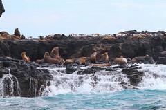 A Group Of Seals (idris.photography) Tags: canon 800d seal seals ocean rocks waterfall wild wildlife nature australia philip island animal sea