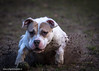 _Y0A8905 (ENlight Fotografie) Tags: pitbull beloved domestic quet