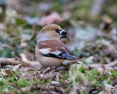 Hawfinch (female) (mbnewcastle) Tags:
