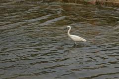 DSC_0981 (Hachimaki123) Tags: 日本 japan 厳島 itsukushima 宮島 miyajima animal 動物 鳥 bird ave