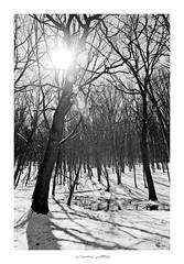 Backlight (lupuszka) Tags: trees woods woodland landscape landscapes nature winter white black monochrome sun light backlight wallow romania transylvania star analog flare film fuji neopan neopanacros fujineopanacros100