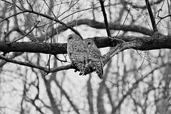 Synchronized Owling in the backyard (karma (Karen)) Tags: baltimore maryland home backyard birds barredowls dof bokeh monochrome bw hmbt topf25 cmwd