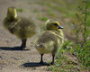 Young Chicks (Scott 97006) Tags: babies geese chick young cute