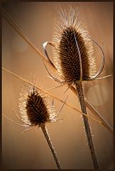 Nettle 0626 (GlasseyeA) Tags: a99ii benjaminharrison indiana marioncounty nature sony statepark thistle