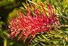 Grevillea 'Robyn Gordon' (Geoffsnaps) Tags: acratechpanoramichead acratech panoramic head gitzogm5541carbonmonopod gitzo gm5541 carbon monopod nikonnikkor200mmf4difedafmicromacro nikon nikkor 200mm f4d f4 if ed af micro macro 4 d fx flower beautiful colours nature pastel grevillea robyngordon green red