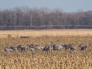 IMGPJ32678_Fk - Jackson County Indiana - Migratory Birds - Ewing Bottoms - Sandhill Cranes