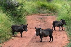 Ambush (H&T PhotoWalks) Tags: warthog vlakvark animal hlane swaziland wildlife nat nikoncoolpixs3600 safari lubombo pumba nikon siteki