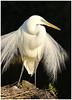 Ardea alba- plumage (docsunny) Tags: ardea alba
