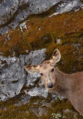 Peek-A-Boo, I miss seeing you (sandhya.sahi) Tags: deer animal beautiful nature zoo darjeeling india travel park beginner photography dslr nikon nikond3300