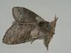 Calliteara pudibunda ♂ - Pale tussock (male) - Шерстолапка садовая (самец) (Cossus) Tags: calliteara calliterinae erebidae lymantriidae lymantriinae orgyiini волнянка пестово 2010