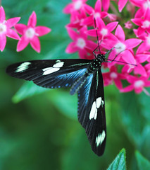 Longwing Feeding (Explored) (dianne_stankiewicz) Tags: feeding longwing butterfly nature wildlife insect flowers pink