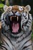 Taimyr @ Ouwehands Dierenpark 29-04-2017 (Maxime de Boer) Tags: taimyr amurtiger siberian tiger siberische tijger big cats katachtigen ouwehands dierenpark ouwehand zoo rhenen animals dieren dierentuin gods creation schepping creator schepper genesis