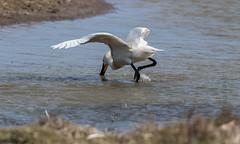 DSC_3457 (Adrian Royle) Tags: lincolnshire framptonmarsh rspb nature wildlife bird heron spoonbill nikon