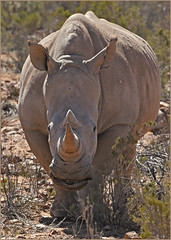 The Big Guy (Vide Cor Meum Images) Tags: mac010665yahoocouk markcoleman markandrewcoleman videcormeumimages vide cor meum nikon d750 nikkor28300 rhino rhinoceros wildlife game drive south africa safari aquila big reserve holiday african