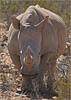 The Big Guy (Vide Cor Meum Images) Tags: mac010665yahoocouk markcoleman markandrewcoleman videcormeumimages vide cor meum nikon d750 nikkor28300 rhino rhinoceros wildlife game drive south africa safari aquila big reserve holiday african