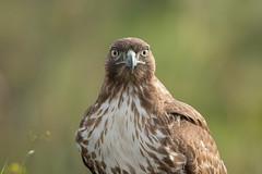 Red-tailed Hawk (X83_0900-1) (Eric SF) Tags: redtailedhawk hawk raptor portrait