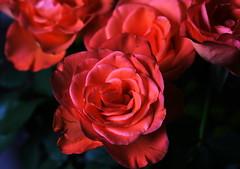 DSC_8997 (PeaTJay) Tags: nikond750 sigma reading lowerearley berkshire macro micro closeups gardens indoors nature flora fauna plants flowers bouquet rose roses rosebuds