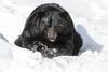 _D6X1601 (pxr57) Tags: sainteannedebellevue québec canada ca black bear nikon d600 eco zoo