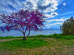 colorfully (panoskaralis) Tags: blossoms flowers lillac tree grass green sea seascape seaside seaview seafront shore coast bluesky sky skyclouds clouds bluesea outdoor landscape nature lesvos lesvosisland mytilene greece greek hellas hellenic aegean aegeansea