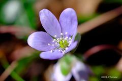 hépatique (jpto_55) Tags: fleur macro anémone bleu bokeh xe1 fuji fujifilm omlens om50mmf2macro haute garonne france