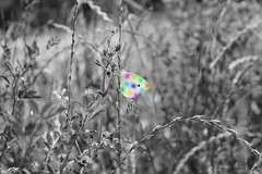 Spring (Flavio Calcagnini) Tags: farfalla butterfly italy erba grass ali wings black white color rainbow flavio calcagnini photography photoshop contemporary art spring primavera