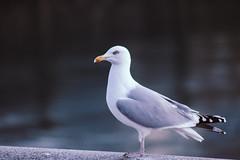 Herring gull (Metaljisawa) Tags: herring gull sea mer ocean goéland argenté grey gris béton blue pentax normandy normandie water eau bird