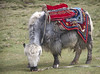 Yak#2 (bag_lady) Tags: yak india ladakh pangonglakeroad tourism remote jammukashmir himalayas