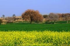 Autumnic Punjab (C@MARADERIE) Tags: colorsofpunjab punjab mustard green yellow brown bluesky attractions nopeople pakistan pakistaniphotographers