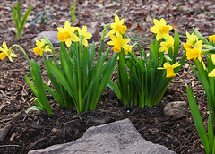 early daffodils (scott1346) Tags: flowers daffodil colors yellow green brown grey backlit closeup plant nature beauty canont3i canon digital maryland 1001nights 1001nightsmagiccity 1001nightsmagicgarden thegalaxy