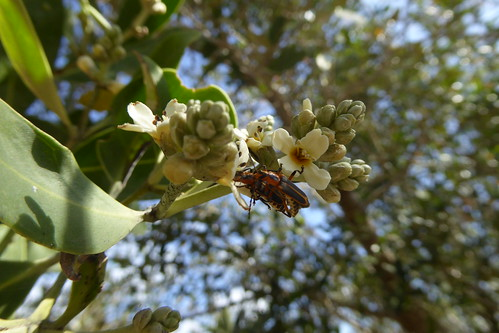 flowers and mating beetles_1, Avicennia germinans