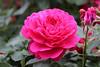 Rosa 'Thomas a Beckett' - Kew Gardens (Ruud de Block) Tags: kewgardens ruuddeblock rosaceae royalbotanicgardens rosathomasabeckett rosa thomas beckett