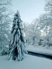 Snowy Tree (Scorpiol13) Tags: snowontrees snowytrees snowcoveredbranches sprucetree snow winter coldtemperature noreaster blizzard snowstorm peaceful tranquility silence stillness beautyinnature nature landscape white winterwonderland massachusetts newengland