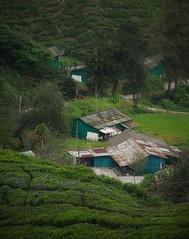 tea plantation (10) (SM Tham) Tags: asia southeastasia malaysia pahang cameronhighlands habu boh tea estate plantation workershouses buildings trees community landscape