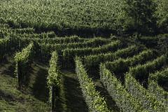 Vigneto a La Morra_Y3A9408 (candido33) Tags: barolo lamorra paesaggidelvino piemonte serradenari alba aurora filari vigne vigneti vitigni