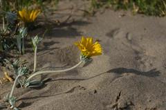 Sur la dune.jpg (BoCat31) Tags: fleur sable dune ombre