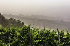Vigneti a La Morra_Y3A9259 (candido33) Tags: barolo lamorra paesaggidelvino piemonte serradenari filari vigne vigneti vitigni