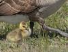 Precious (N.Clark) Tags: canadagoosebrantacanadensis goslings precious sweet babybirds wildlife birds manitoba manitobabirds avian goslingandparent spring naturethroughthelens