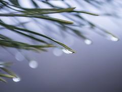 Hilversum 2018: Teardrops (mdiepraam) Tags: hilversum 2018 westerheide dew drops fir tree needles macro dof