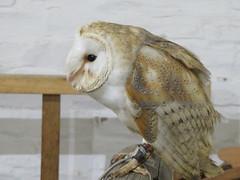 UK - Warwickshire - Wilmcote - Mary Arden's Tudor Farm - Bird of Prey display - Barn owl (JulesFoto) Tags: uk england warwickshire wilmcote maryardensfarm birdofprey barnowl